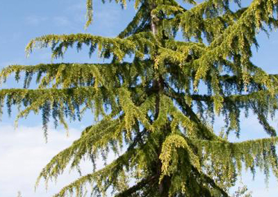 Weeping Cedar of Lebanon