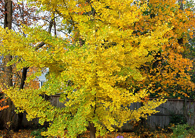Princeton Sentry Maidenhair Tree