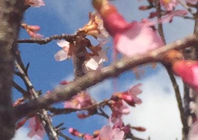 'Okame' Cherry