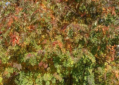 Cardinal Royal Mountain Ash