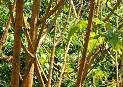 Phoenix Hybrid Maple