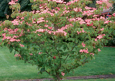 Radiant Rose Chinese Dogwood