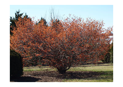 Carmine Red Witchhazel