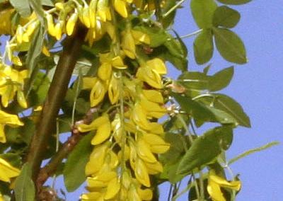 Vossi Goldenchain Tree