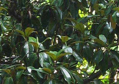 Evergreen Magnolia