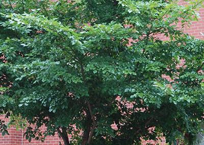Accolade Elm