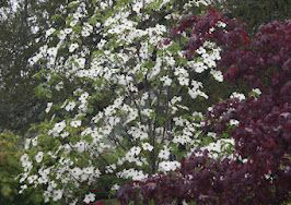 Colrigo Giant Pacific Dogwood
